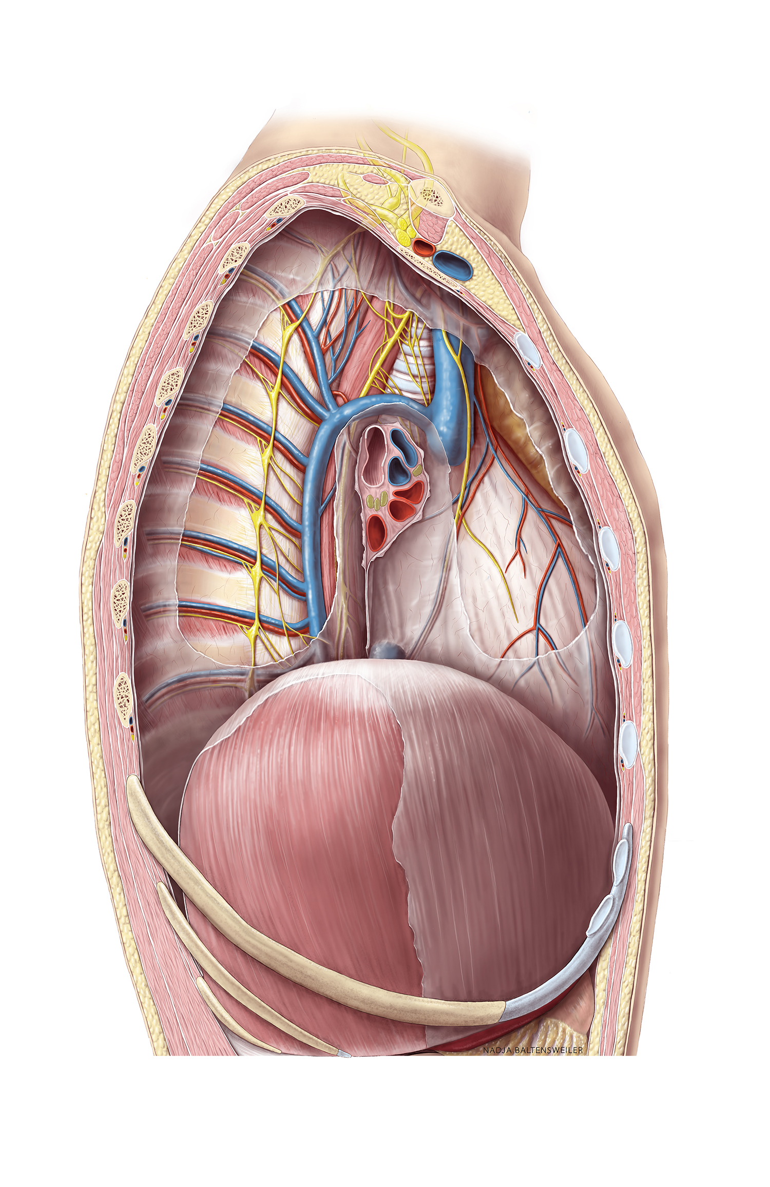 Lateral View Of Opened Thorax Lung Removed Anatomytool